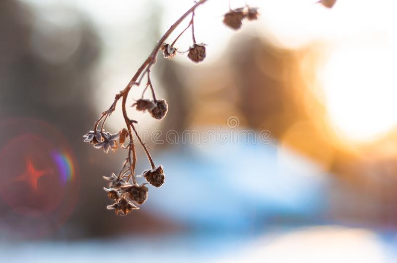Branch of dry raspberries covered with snow in winter at sunset light macro stock images