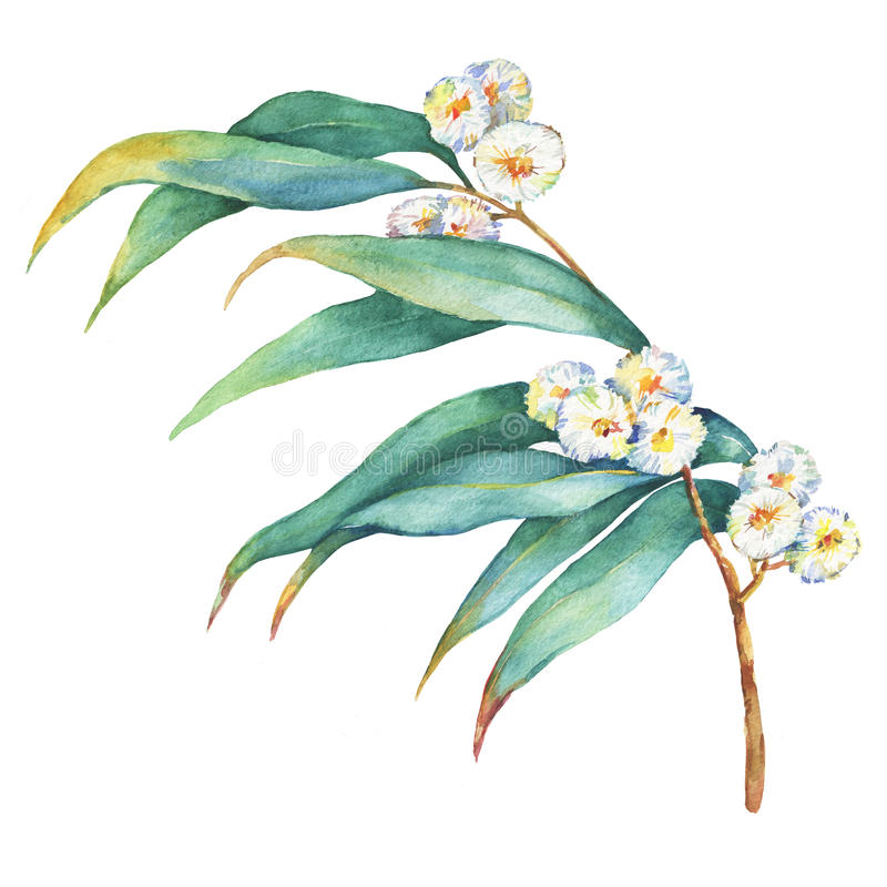 A branch of Eucalyptus melliodora flowers, plant also known as Yellow Box Gum. stock illustration