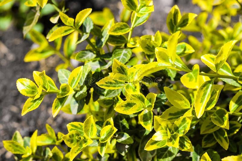 Branch of Euonymus fortunei `Emerald `n` Gold` closeup stock image