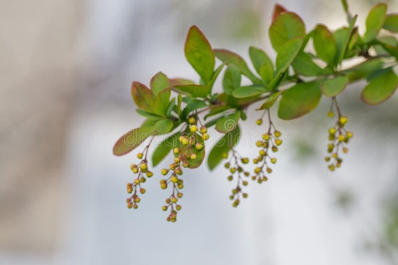 Branch of european barberry beris vulgaris with bloemen in spring Vruchtenboom met jonge vruchten stock foto