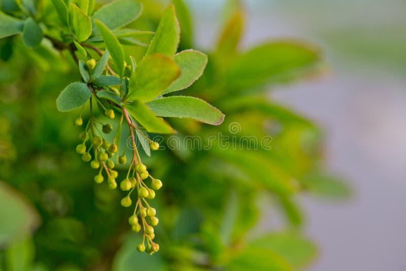 Branch of european barberry beris vulgaris with bloemen in spring Vruchtenboom met jonge vruchten royalty-vrije stock foto