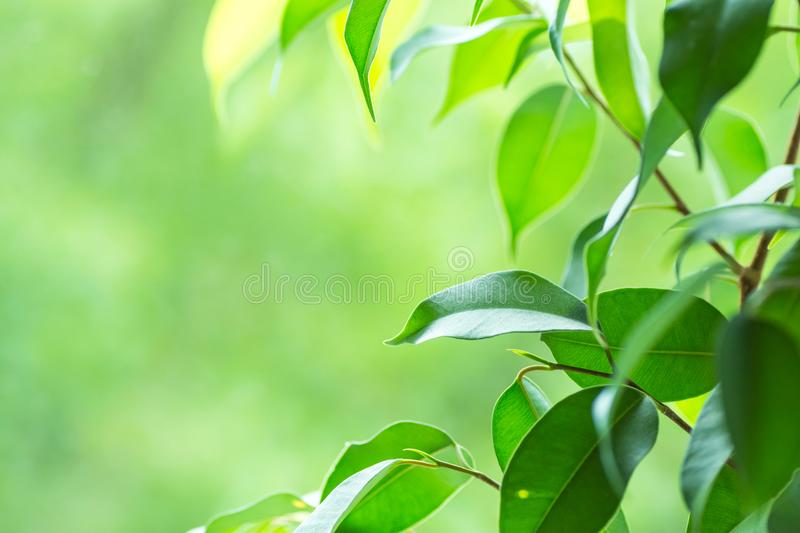 Branch of Ficus Plant on Window Sill. Fresh Vibrant Garden Greenery in the Background. Tranquility Harmony Environment. Contemplation Concept. Poster Banner stock photography