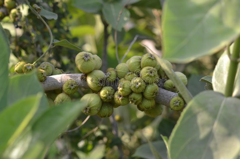 A branch of a Ficus racemosa  Ficus glomerate Roxb pularly known as cluster fig tree, Indian fig tree or goolar  gular,P royalty free stock photos