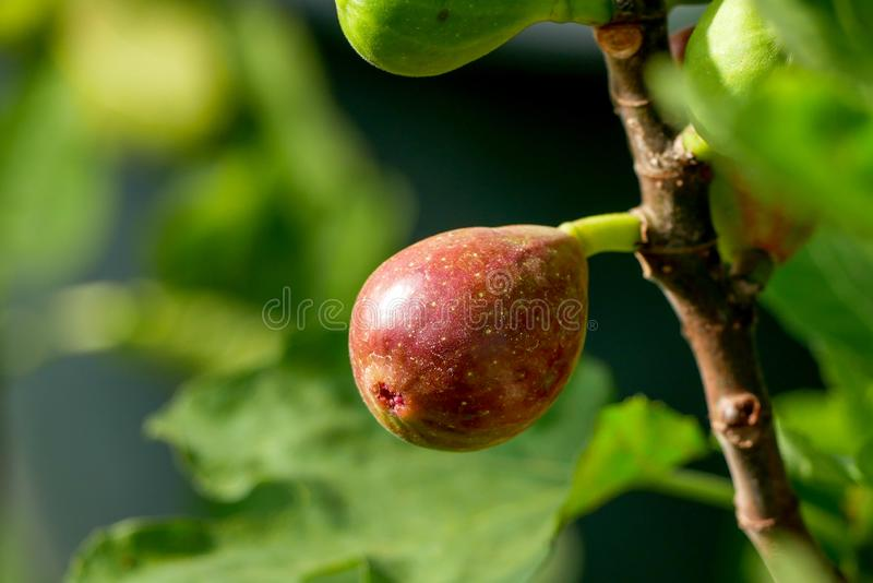 Branch of a fig tree Ficus carica with leaves and fruits in various stages of ripening royalty free stock photos