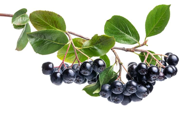 Branch filled with aronia berries on white background royalty free stock photos