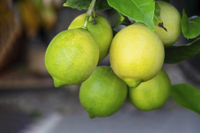 Close up of a branch filled with lemons stock photo