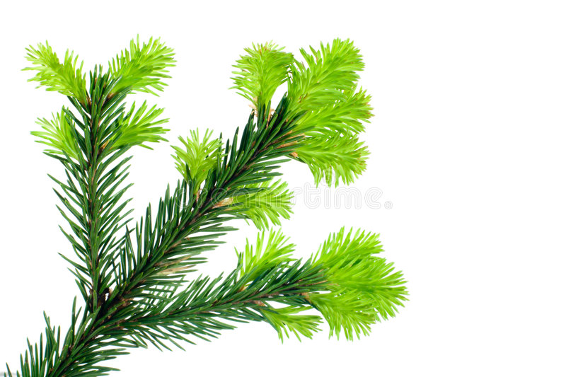 Branch of Fir on white