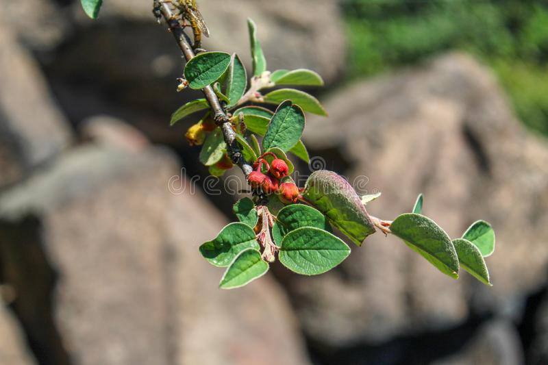 Branch with flower buds Cotoneaster integerrimus, `Common cotoneaster`, `Gewöhnliche Zwergmispel`, `Cotonéaster commun`, royalty free stock photos