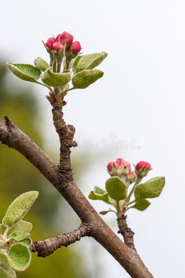 Branch of a flowering Apple tree against the sky. Pink inflorescences close-up. Branch of a flowering Apple tree against the sky. Pink inflorescences.Close up stock photo