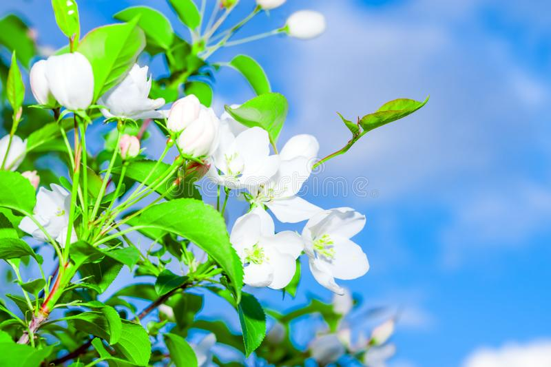 Branch of a flowering Apple tree with green leaves on a blue sky background, stock photography
