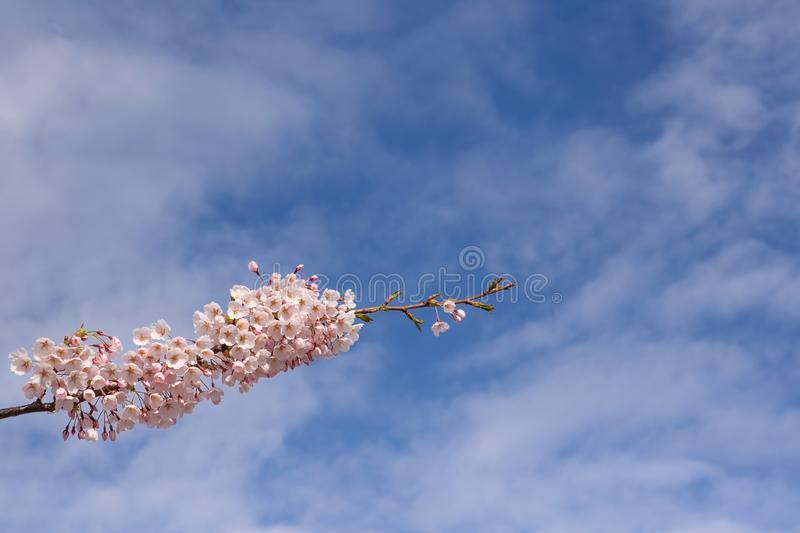 Branch of a flowering cherry tree against a blue sky stock images