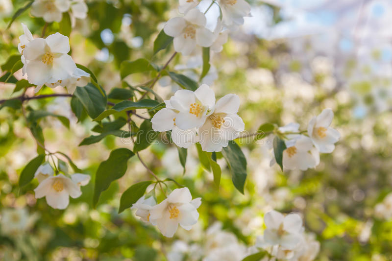 A branch of flowering jasmine stock photography