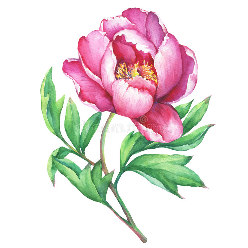 The branch flowering pink peony, isolated on white background. vector illustration