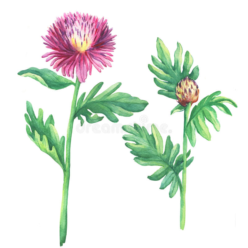 The branch flowering pink spotted knapweed names: Centaurea maculosa, whitewash cornflower, meadow thistle, isolated on white ba. Ckground. Watercolor hand drawn vector illustration