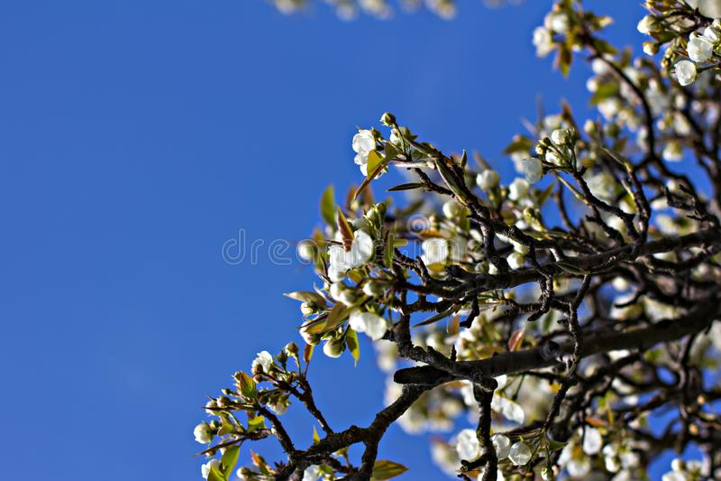A branch of a flowering tree is an apple tree against a blue sky. Spring background. A branch of a flowering tree royalty free stock photography