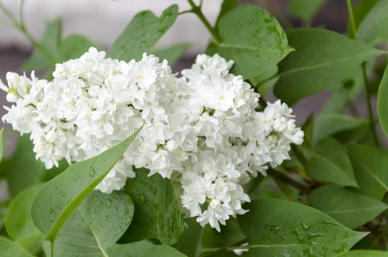 Branch of flowering white lilac stock photography