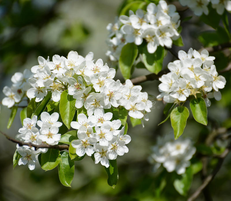 Branch with flowers of a pear ordinary Pyrus communis L., clos up. Branch with flowers of a pear ordinary Pyrus communis L., close up stock image