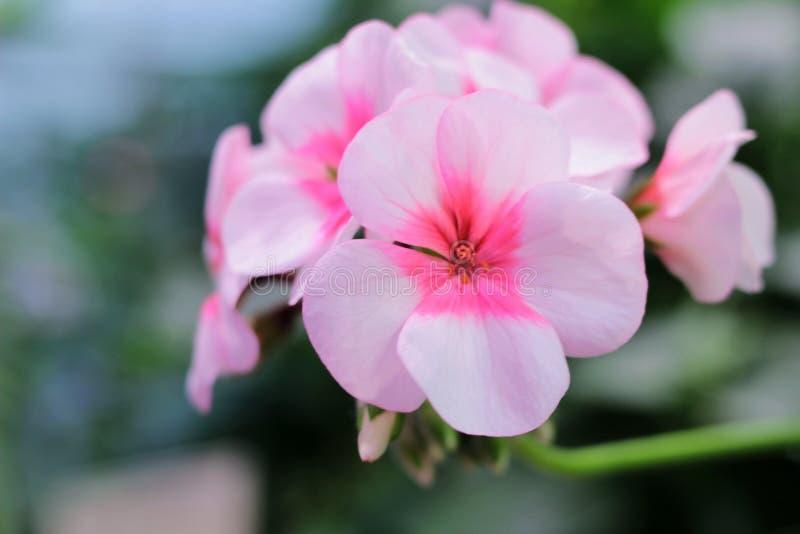 Branch with flowers pink geranium, pelargonium x hortorum L.H. Bale Geraniaceae, flowers postcard, copy space stock image