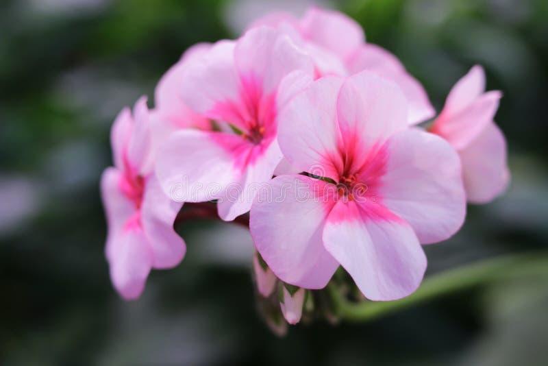 Branch with flowers pink geranium, pelargonium x hortorum L.H. Bale Geraniaceae, flowers postcard, copy space royalty free stock photography