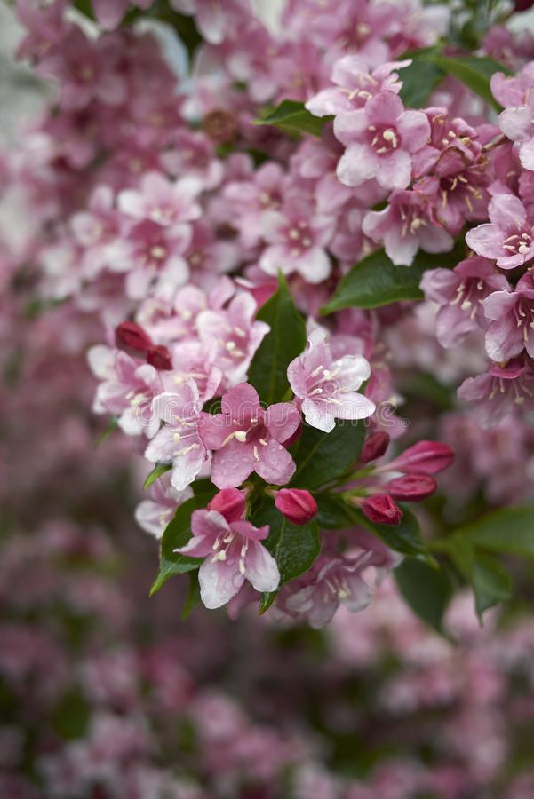 Pink flowers of Weigela shrub royalty free stock image
