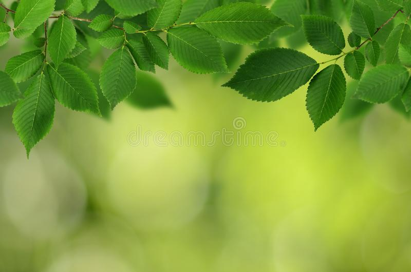 Branch of fresh green elm-tree leaves for background royalty free stock image