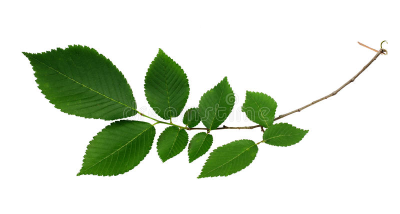 Branch of fresh green elm-tree leaves stock photo