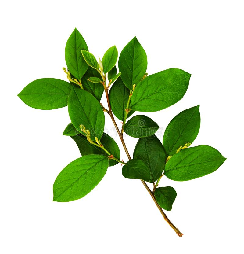Branch with fresh green leaves stock image