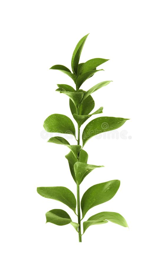 Branch with fresh green Ruscus leaves white background stock images