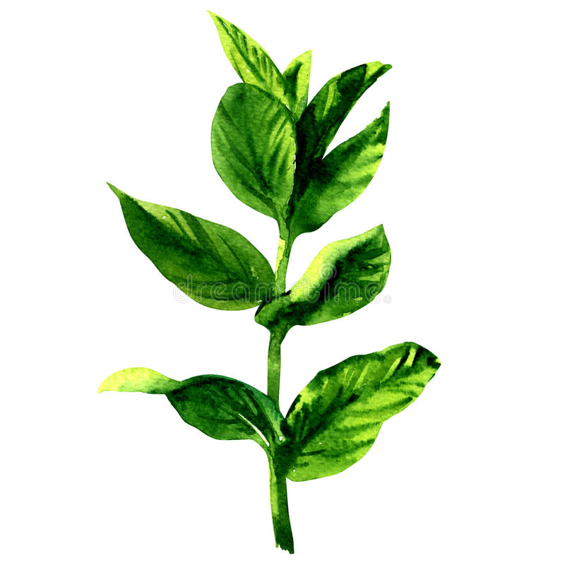 Branch of fresh raw green mint leaves, isolated, watercolor illustration on white stock illustration