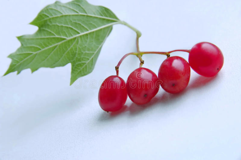 Branch of fruits of a guelder-rose. royalty free stock image