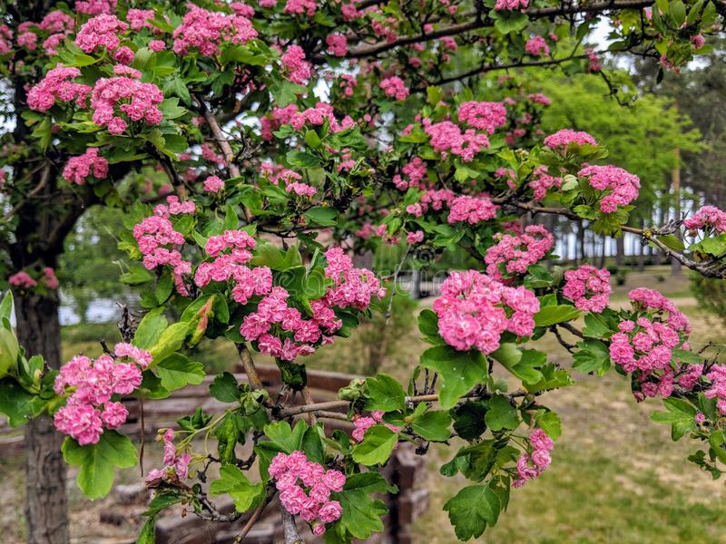 A branch of a small tree full of bright pink blossoms stock photography