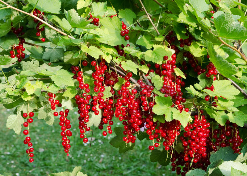 Branch full of fresh red currant. Branch with red currant ready to harvest royalty free stock images