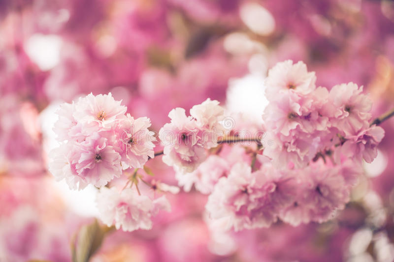 Branch full of pink faded flowers in summer blossom time on pink. Blurred soft background stock photos