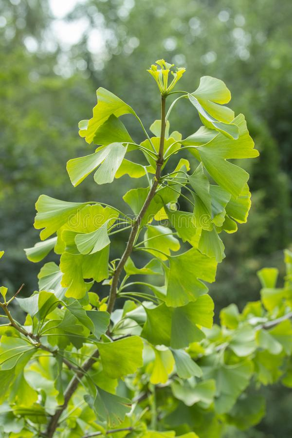 Branch of Ginkgo biloba tree with green leaves, a fossil dioecious plant used Chinese medicine. Ginkgo tree green leaves royalty free stock image