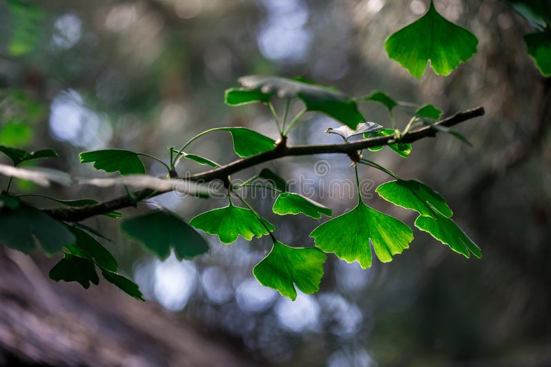 Branch of ginkgo biloba with young leaves against blur background royalty free stock photos