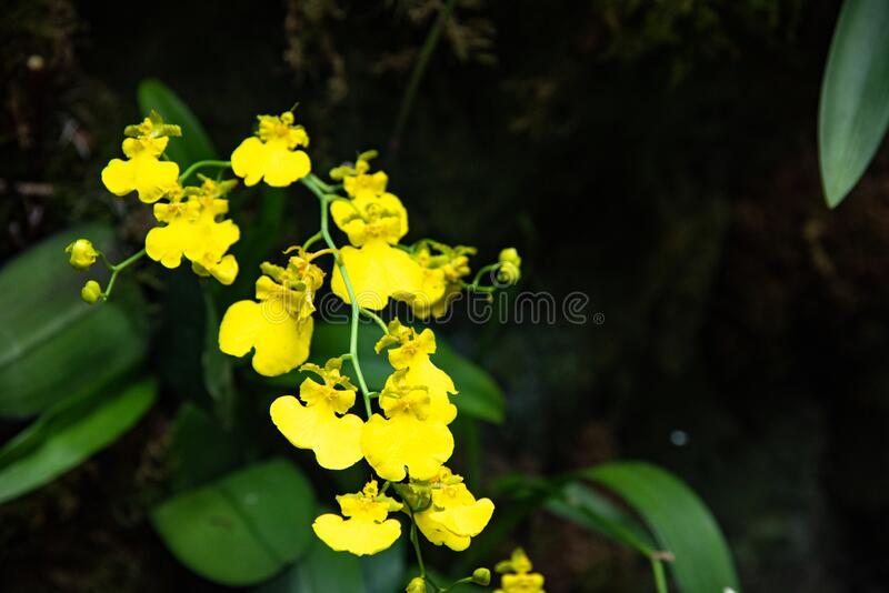 Branch of golden button orchids shines on background of dark green leaves royalty free stock photo