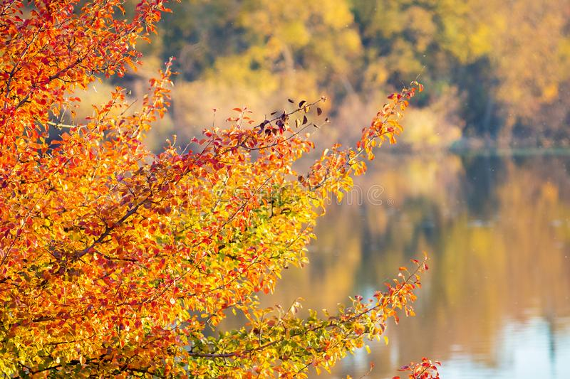 A branch with golden and orange autumn leaves over a river with clear water, which reflects trees on the opposite bank_ stock image