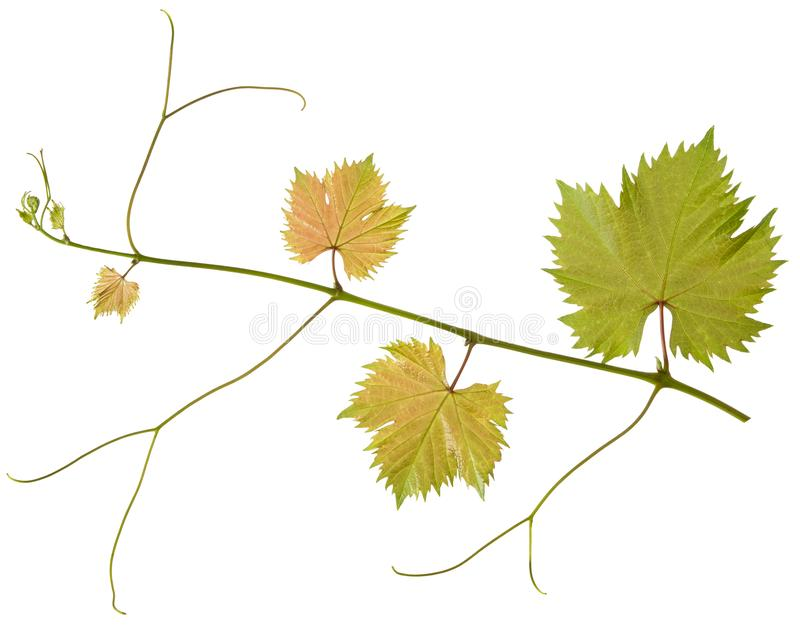 Branch of grape leaves with stalk isolated on white background, natural foliage vine close-up stock image