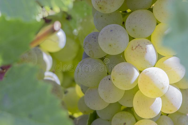 A branch of grapes on a Sunny day before harvest royalty free stock photo