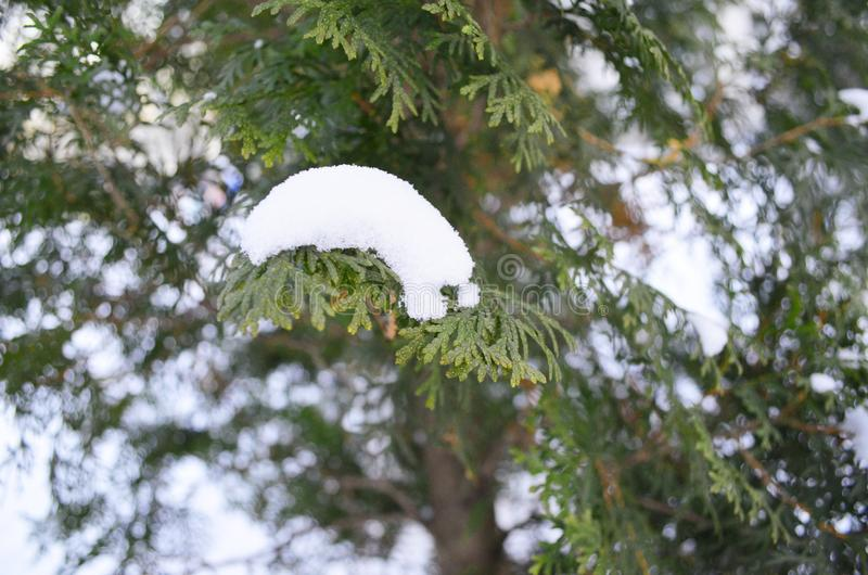 Branch of green cypress under the snow royalty free stock image