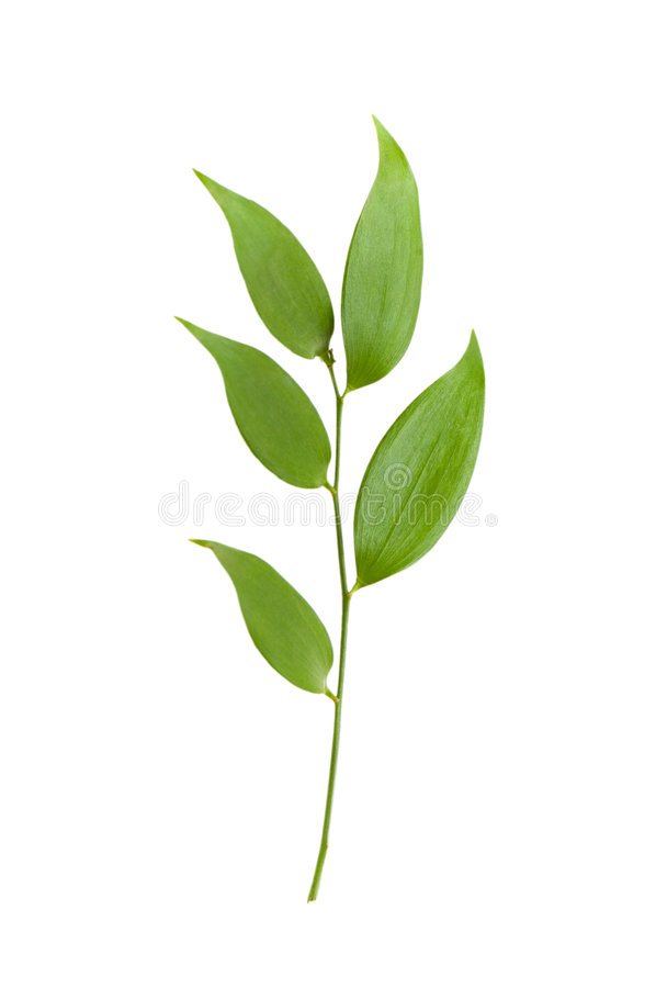Download Branch With Green Leaves Isolated On The White Stock Photo - Image: 5984928