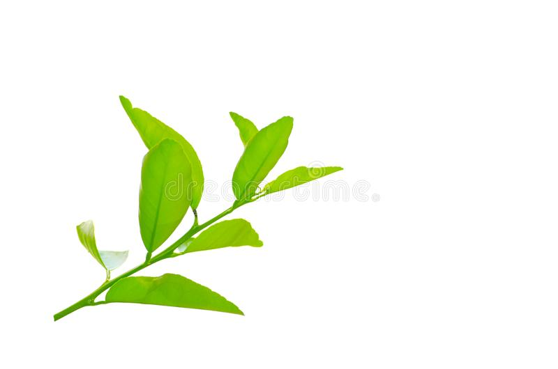 A branch of green lime leaves isolated on white background. stock photo