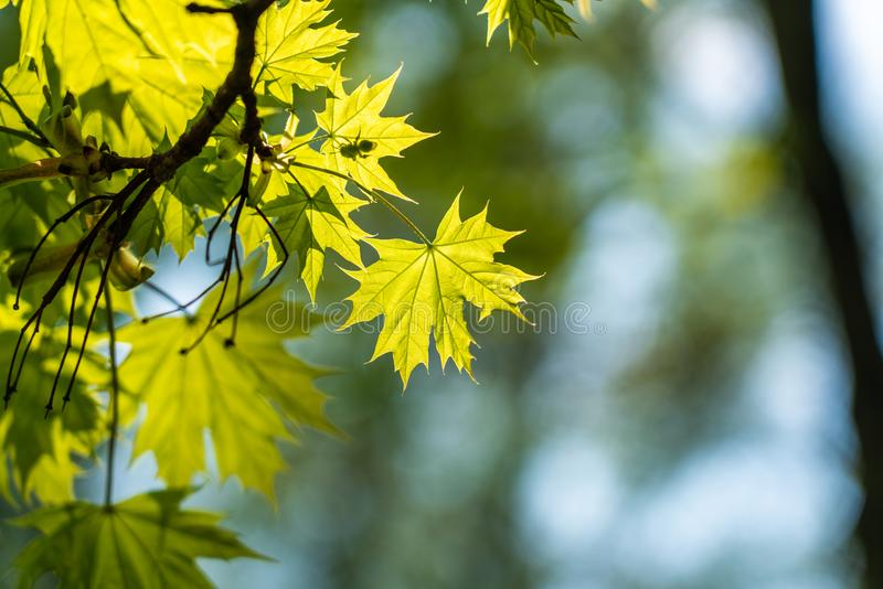 Branch of green maple leaves royalty free stock image