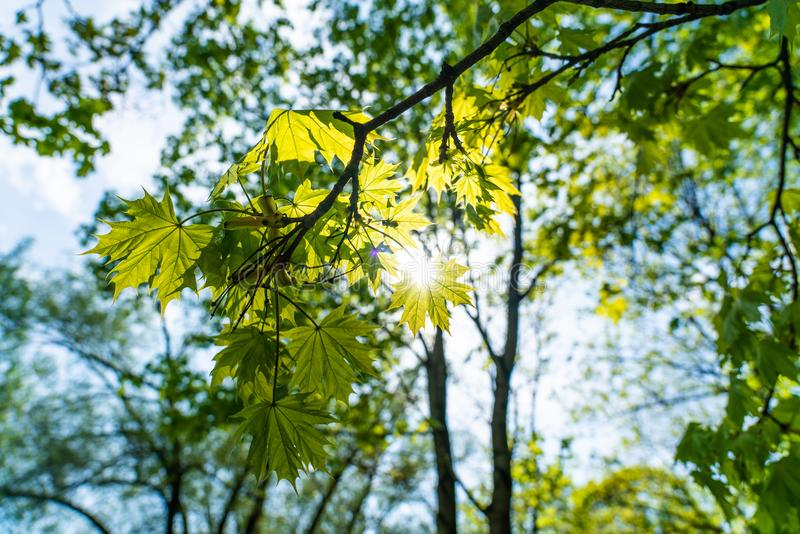 Branch of green maple leaves royalty free stock photo