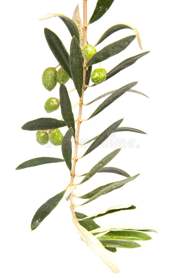 Branch Of Green Olives Royalty Free Stock Photo