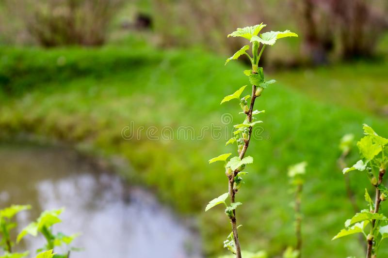 A branch of a green plant, a bush with young blossoming leaves against the background. Of a river royalty free stock image
