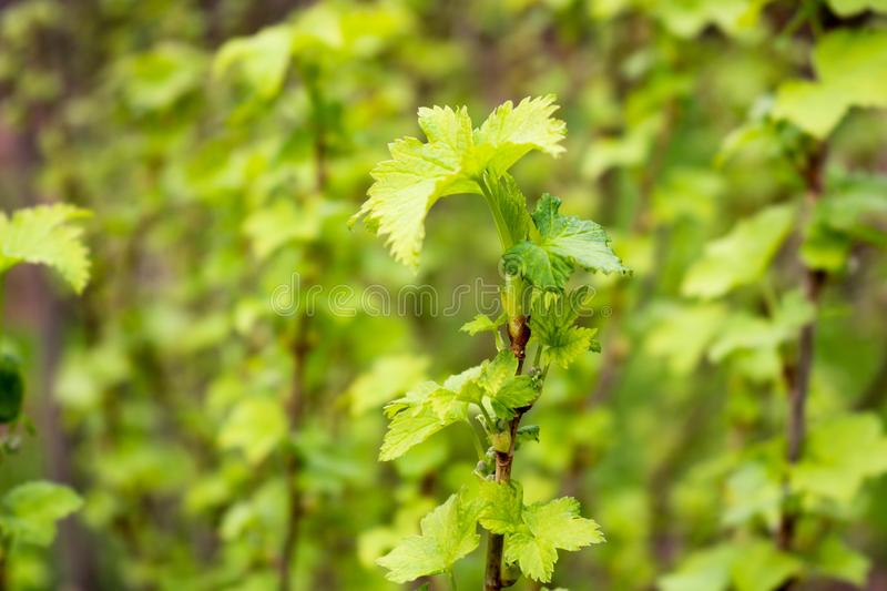 A branch of a green plant, a bush with young blossoming leaves against the background. A branch of a green plant, a bush with young blossoming leaves on a green royalty free stock photography