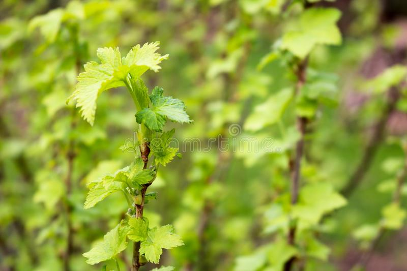 A branch of a green plant, a bush with young blossoming leaves against the background. A branch of a green plant, a bush with young blossoming leaves on a green stock photos