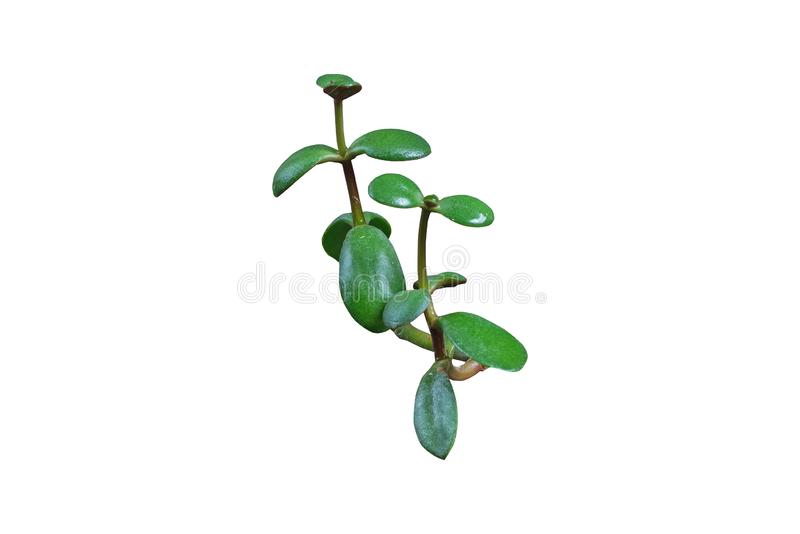 Branch of green plant with round leafs royalty free stock photo