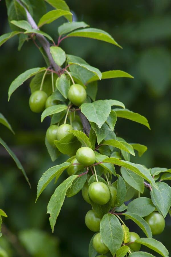 Branch of green plum stock photos
